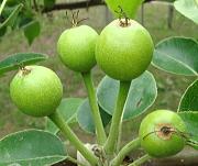 「幸水梨」摘果前