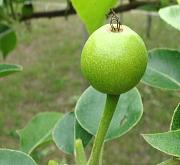 「幸水梨」摘果後