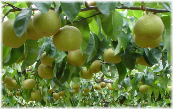 低農薬栽培による梨