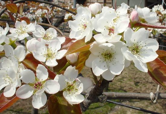 満開の愛甘水梨の花