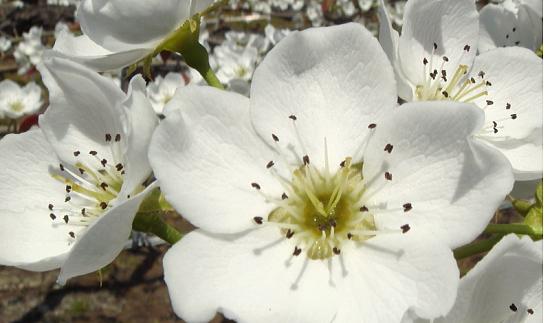 満開の新興梨の花