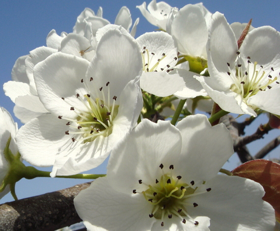 満開の新高梨の花