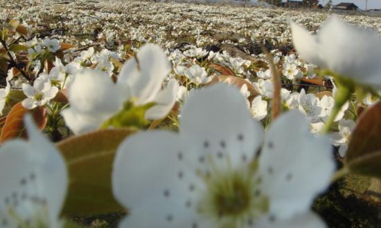 梨園の全景