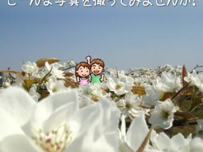 満開の梨の花/小杉農園